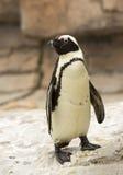 Αφρικανικό μαύρο πόδι Penguin Στοκ φωτογραφία με δικαίωμα ελεύθερης χρήσης