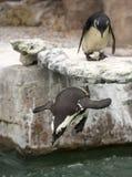 Αφρικανικό μαύρο πόδι Penguin Στοκ εικόνα με δικαίωμα ελεύθερης χρήσης