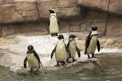 Αφρικανικό μαύρο πόδι Penguins Στοκ Φωτογραφία