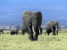 αφρικανικό μεγάλο διάνυσμα απεικόνισης ελεφάντων Στοκ Εικόνα