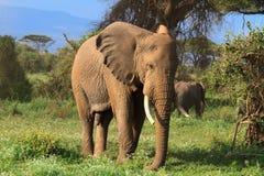 αφρικανικό μεγάλο διάνυσμα απεικόνισης ελεφάντων Κένυα, Αφρική Στοκ φωτογραφία με δικαίωμα ελεύθερης χρήσης