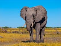 αφρικανικό μεγάλο διάνυσμα απεικόνισης ελεφάντων Στοκ φωτογραφία με δικαίωμα ελεύθερης χρήσης