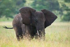 αφρικανικό μεγάλο διάνυσμα απεικόνισης ελεφάντων Στοκ εικόνες με δικαίωμα ελεύθερης χρήσης