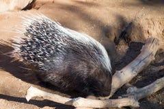 αφρικανικό λοφιοφόρο porcupine Στοκ εικόνες με δικαίωμα ελεύθερης χρήσης