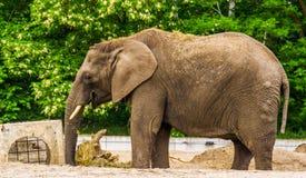 Αφρικανικό παιχνίδι ελεφάντων Tusked με κάποια χλόη και τοποθέτηση της πίσω, τρωτό ζωικό specie του από την Αφρική στοκ φωτογραφία με δικαίωμα ελεύθερης χρήσης