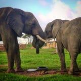 Αφρικανικό παιχνίδι ελεφάντων Στοκ Φωτογραφίες