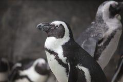 Αφρικανικό πορτρέτο κινηματογραφήσεων σε πρώτο πλάνο Penguin Στοκ φωτογραφία με δικαίωμα ελεύθερης χρήσης