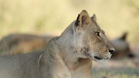 Αφρικανικό πορτρέτο λιονταριών - έρημος της Καλαχάρης απόθεμα βίντεο
