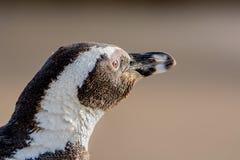 αφρικανικό πορτρέτο penguin Στοκ φωτογραφία με δικαίωμα ελεύθερης χρήσης