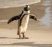 αφρικανικό πορτρέτο penguin Στοκ Φωτογραφίες