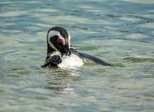 αφρικανικό πορτρέτο penguin Στοκ Εικόνες