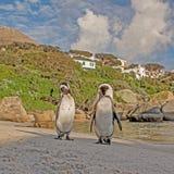 Αφρικανικό πορτρέτο Penguins Στοκ φωτογραφία με δικαίωμα ελεύθερης χρήσης