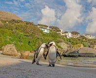 Αφρικανικό πορτρέτο Penguins Στοκ φωτογραφίες με δικαίωμα ελεύθερης χρήσης