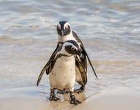 Αφρικανικό πορτρέτο Penguins Στοκ Εικόνα