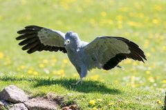Αφρικανικό πουλί γερακιών επιδρομέων του θηράματος Όμορφο προϊστορικό κοίταγμα Στοκ Εικόνες