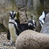 Αφρικανικό πουλί Penguin Spheniscus Demersus στο φυσικό έδαφος βιότοπων Στοκ Εικόνες