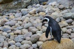 Αφρικανικό πουλί Penguin Spheniscus Demersus στο φυσικό έδαφος βιότοπων Στοκ Εικόνα