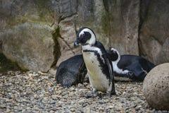 Αφρικανικό πουλί Penguin Spheniscus Demersus στο φυσικό έδαφος βιότοπων Στοκ φωτογραφίες με δικαίωμα ελεύθερης χρήσης