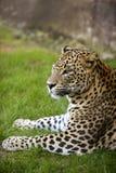 αφρικανικό πράσινο leopard χλόης Στοκ Εικόνες