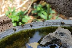 Αφρικανικό πόσιμο νερό μελισσών μελιού Στοκ εικόνες με δικαίωμα ελεύθερης χρήσης