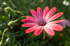 αφρικανικό ροζ μαργαριτών Στοκ φωτογραφία με δικαίωμα ελεύθερης χρήσης