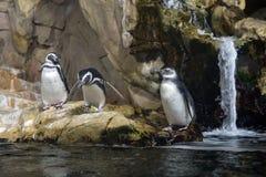 Αφρικανικό στενό επάνω πορτρέτο penguin Στοκ εικόνα με δικαίωμα ελεύθερης χρήσης
