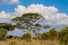 Αφρικανικό τοπίο δέντρων ακακιών στο θάμνο σαβανών στοκ φωτογραφίες