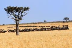 αφρικανικό τοπίο GNU αντιλο&p Στοκ φωτογραφίες με δικαίωμα ελεύθερης χρήσης