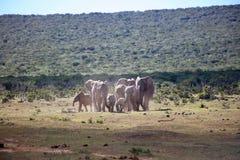 Αφρικανικό τρέξιμο κοπαδιών ελεφάντων Στοκ Φωτογραφία