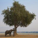 Αφρικανικό ωθώντας δέντρο ταύρων ελεφάντων (africana Loxodonta) Στοκ Εικόνες