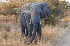Αφρικανικό africana Loxodonta ελεφάντων Στοκ φωτογραφίες με δικαίωμα ελεύθερης χρήσης