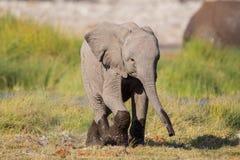 Αφρικανικό africana Loxodonta μωρών ελεφάντων Στοκ Εικόνα
