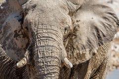 Αφρικανικό africana Loxodonta πορτρέτου ελεφάντων Στοκ Εικόνες