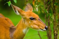 αφρικανικό antilope Στοκ φωτογραφία με δικαίωμα ελεύθερης χρήσης