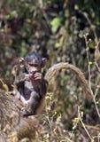 Αφρικανικό baboon μωρών Στοκ εικόνα με δικαίωμα ελεύθερης χρήσης