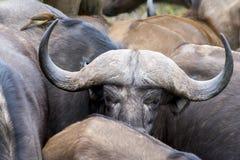 Αφρικανικό Buffalo στο εθνικό πάρκο Kruger, Νότια Αφρική Στοκ φωτογραφία με δικαίωμα ελεύθερης χρήσης