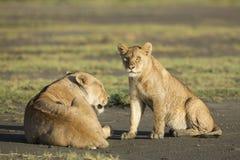 Αφρικανικό cub λιονταριών (leo panthera) Τανζανία Στοκ Εικόνα