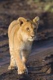 αφρικανικό cub λιοντάρι Στοκ εικόνες με δικαίωμα ελεύθερης χρήσης