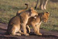 αφρικανικό cubs λιοντάρι Στοκ φωτογραφίες με δικαίωμα ελεύθερης χρήσης