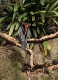 Αφρικανικό Darter γνωστό ως rufa rufa Anhinga Στοκ Εικόνες