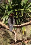 Αφρικανικό Darter γνωστό ως rufa rufa Anhinga Στοκ φωτογραφία με δικαίωμα ελεύθερης χρήσης