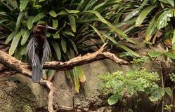 Αφρικανικό Darter γνωστό ως rufa rufa Anhinga Στοκ Φωτογραφίες