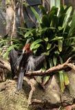 Αφρικανικό Darter γνωστό ως rufa rufa Anhinga Στοκ φωτογραφίες με δικαίωμα ελεύθερης χρήσης