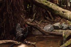 Αφρικανικό Darter γνωστό ως rufa rufa Anhinga Στοκ εικόνες με δικαίωμα ελεύθερης χρήσης