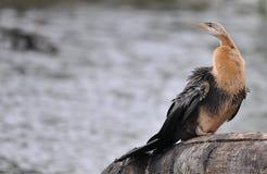 Αφρικανικό Darter Στοκ φωτογραφία με δικαίωμα ελεύθερης χρήσης
