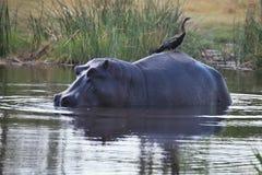 Αφρικανικό darter, rufa Anhinga, που κάθεται στο πίσω μέρος Hippopotamus, amphibius Hippopotamus, εθνικό πάρκο Moremi, Μποτσουάνα Στοκ φωτογραφίες με δικαίωμα ελεύθερης χρήσης