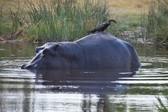 Αφρικανικό darter, rufa Anhinga, που κάθεται στο πίσω μέρος Hippopotamus, amphibius Hippopotamus, εθνικό πάρκο Moremi, Μποτσουάνα Στοκ Εικόνες