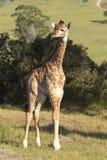αφρικανικό giraffe θάμνων μωρών Στοκ Εικόνες