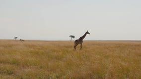 Αφρικανικό giraffe περπατά στην πεδιάδα στη σαβάνα με την υψηλή μαραμένη χλόη απόθεμα βίντεο