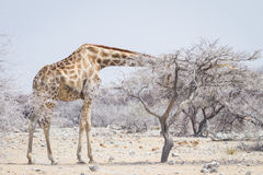 Αφρικανικό giraffe σε Etosha που κολλά το κεφάλι του σε ένα σκονισμένο δέντρο Στοκ Εικόνες
